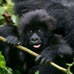 3 days trip to the Mountain Gorillas in Rwanda