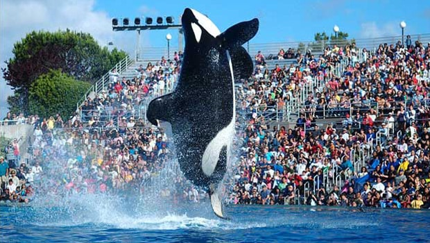 Seaworld Shamu Blackfish