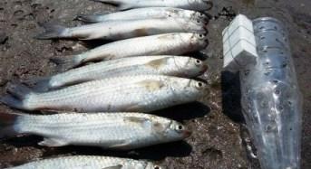 Cara unik mancing ikan belanak dan umpan ikan belanak