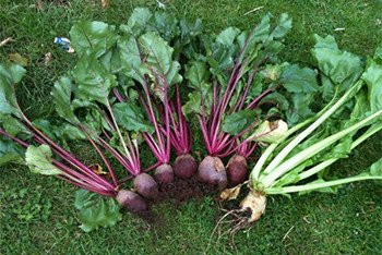 uncle matts beetroot