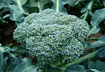 uncle matts broccoli