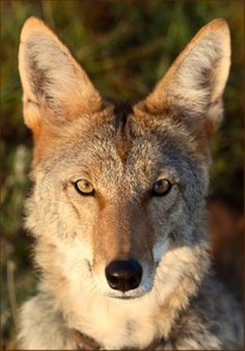 Stoned Coyotes – No, Not the Human Kind