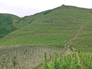 Syrah on terraces-no tractors - horses or by hand