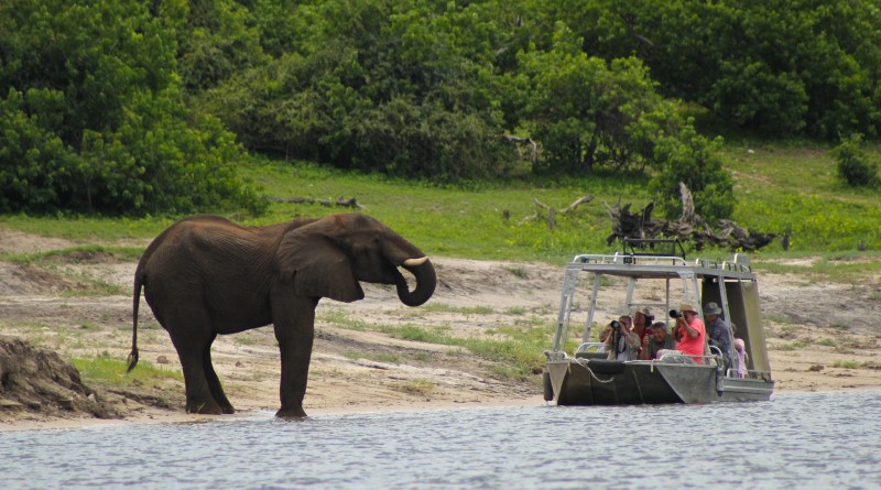 Close Encounters with African Elephants on the Chobe River, Botswana