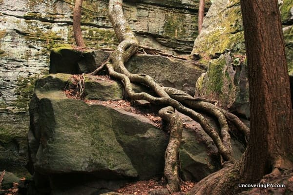 Another view of the amazing roots that grow throughout Bilger's Rocks.