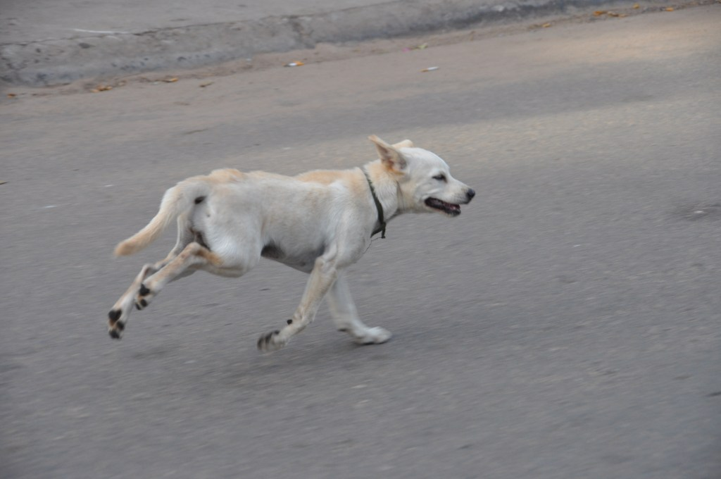 chiens à crête de Phu Quoc