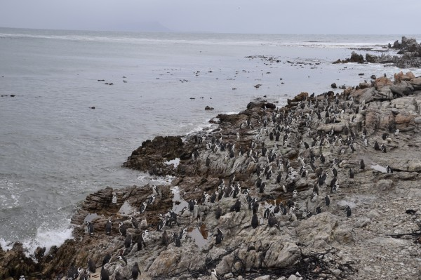 pingouins de Betty's Bay