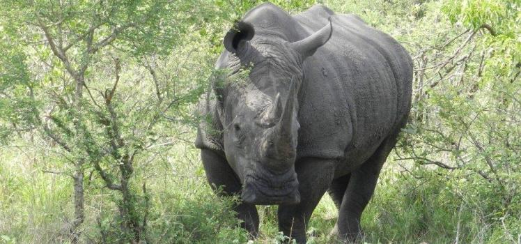 Rhinoceros du park Kruger, une espèce en grand danger