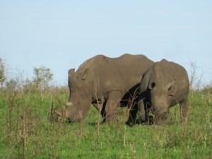 Braconnés pour leur corne les rhinos sont sous haute surveillance
