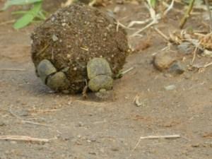 Les bousiers à l'oeuvre sur les sentiers de Kruger