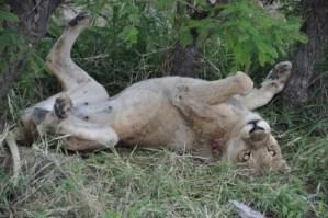 Lionne blessée attendant son heure. RIP