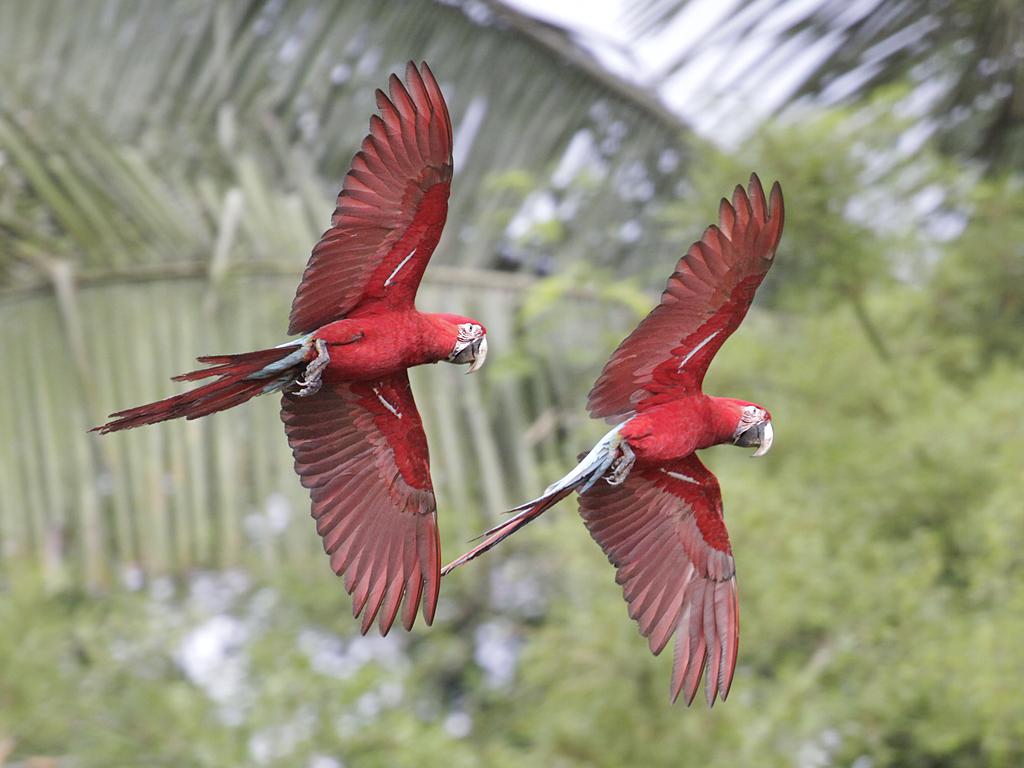 ara choloptère parc national Manu Pérou