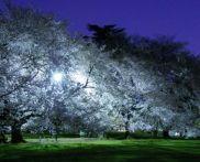 東京 桜の名所はどこ?家族で花見ができる公園おすすめ2015