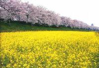 埼玉 桜2015【名所&穴場】の紹介│ランキング1位のオススメ公園はここ!