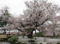 石川県の桜2015 兼六園の開花はいつ?│その他オススメ花見スポット【ライトアップ・駐車場】一覧