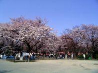 宮城の桜の開花情報!まつり&ライトアップが行われるスポット2015