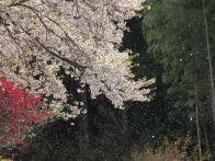 岩手の桜が満開の時期はいつ?2015オススメスポットのライトアップ&駐車場情報