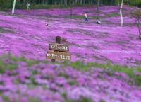 北海道 桜│種類のさまざまな桜が見られるオススメスポット集~いくならココ!