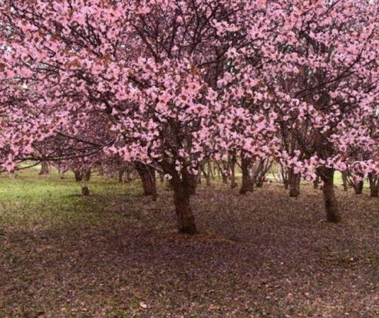 北海道の桜 5月のGWに満開になる花見オススメスポットは?開花時期&駐車場情報
