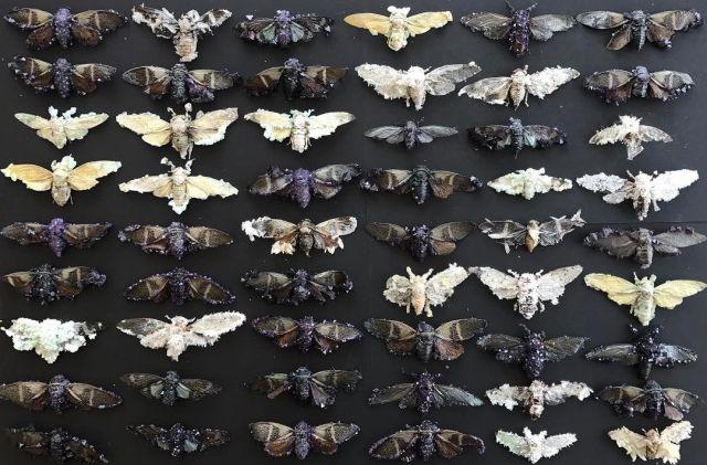 Tyler-Thrasher-cicadas