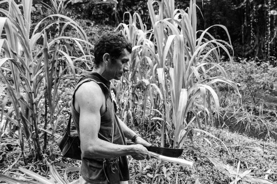 Zuckerrohr , Costa Rica (c) Veronika C. Dräxler