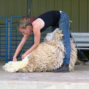 MSWF16-shearing