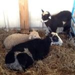 MSWF16-sheep2