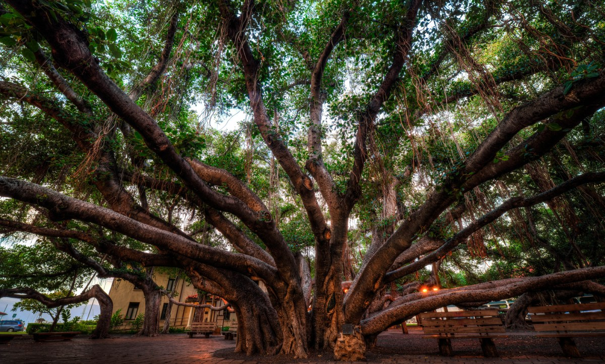 The Most Famous Tree in Hawaii