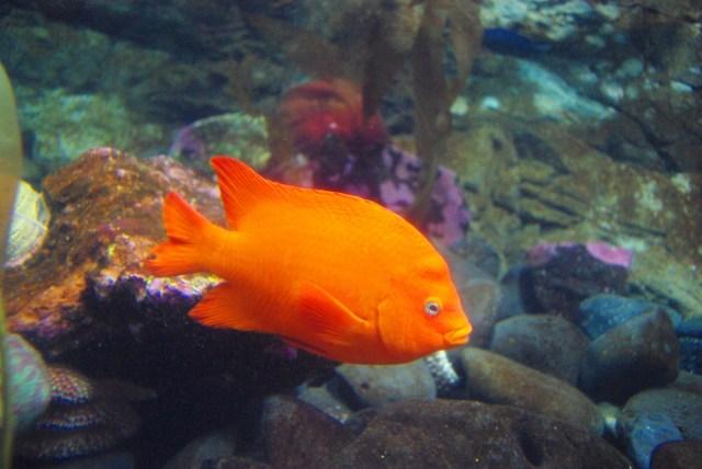 File:Bright orange fish Oregon Coast Aquarium Wikipedia, the