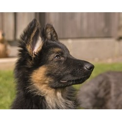 Small Crop Of Do German Shepherds Shed