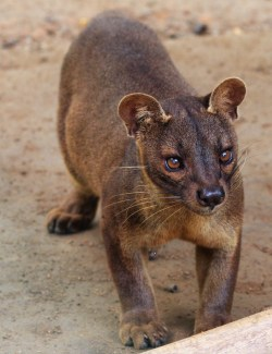 Invigorating Fossa Has A Resembling A Small Fossa Wikipedia Do Male Cats Have Nipples On Ir Stomach Do Male Cats Have Nipples