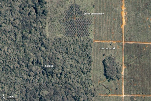 Clearcutting for palm oil