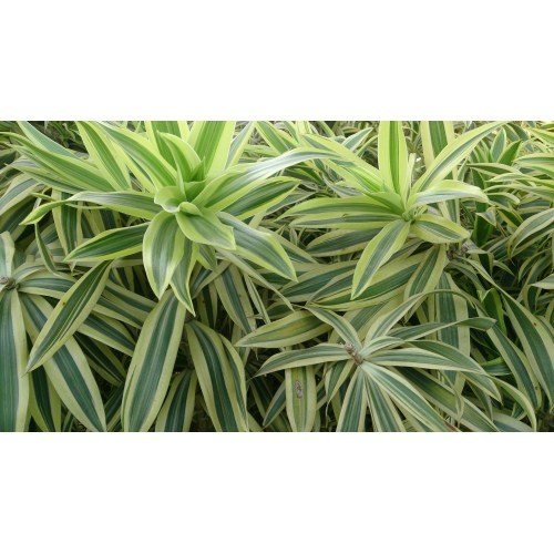 Medium Crop Of Song Of India Plant