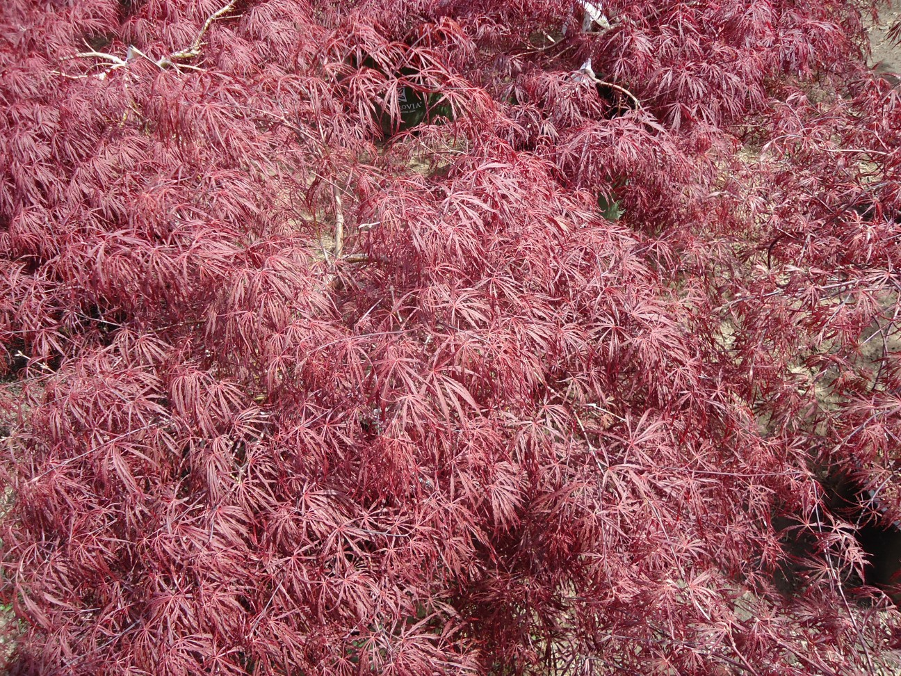 Gorgeous Crimson Queen Japanese Maple Growth Rate Crimson Queen Japanese Maple Companion Plants Nj Queen Japanese Maple Plants Growing Nj Queen Japanese Maple Plants Growing houzz 01 Crimson Queen Japanese Maple