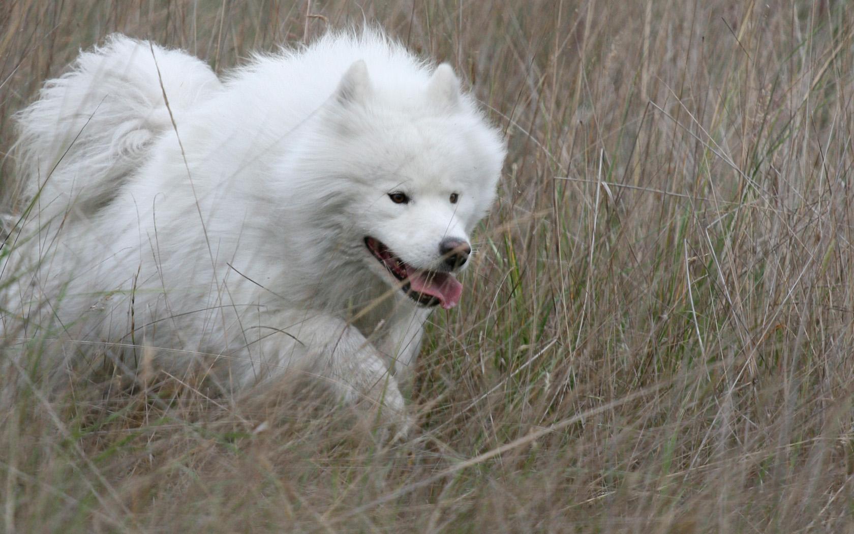 Thrifty Blue S Big Fluffy Dog Images Existence Big Fluffy Dog This Est Dog Breeds bark post Big Fluffy White Dog