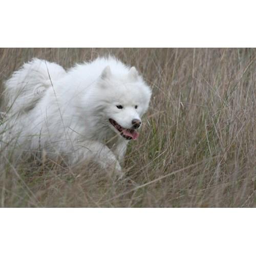 Medium Crop Of Big Fluffy White Dog