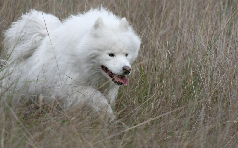 Large Of Big Fluffy White Dog