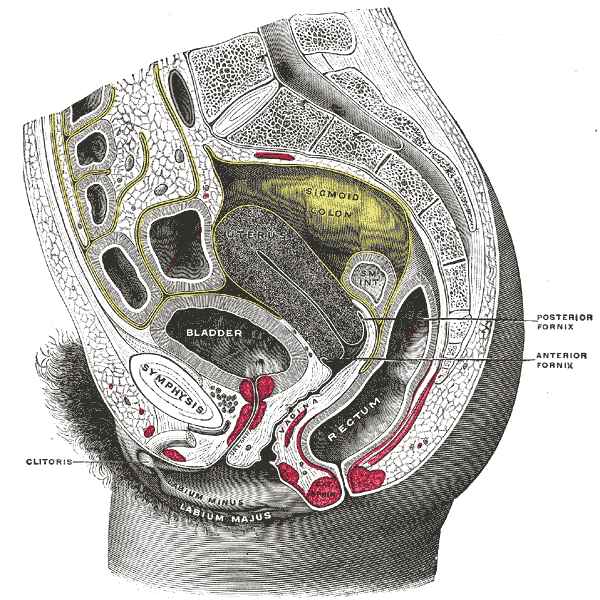 vaginal fornix