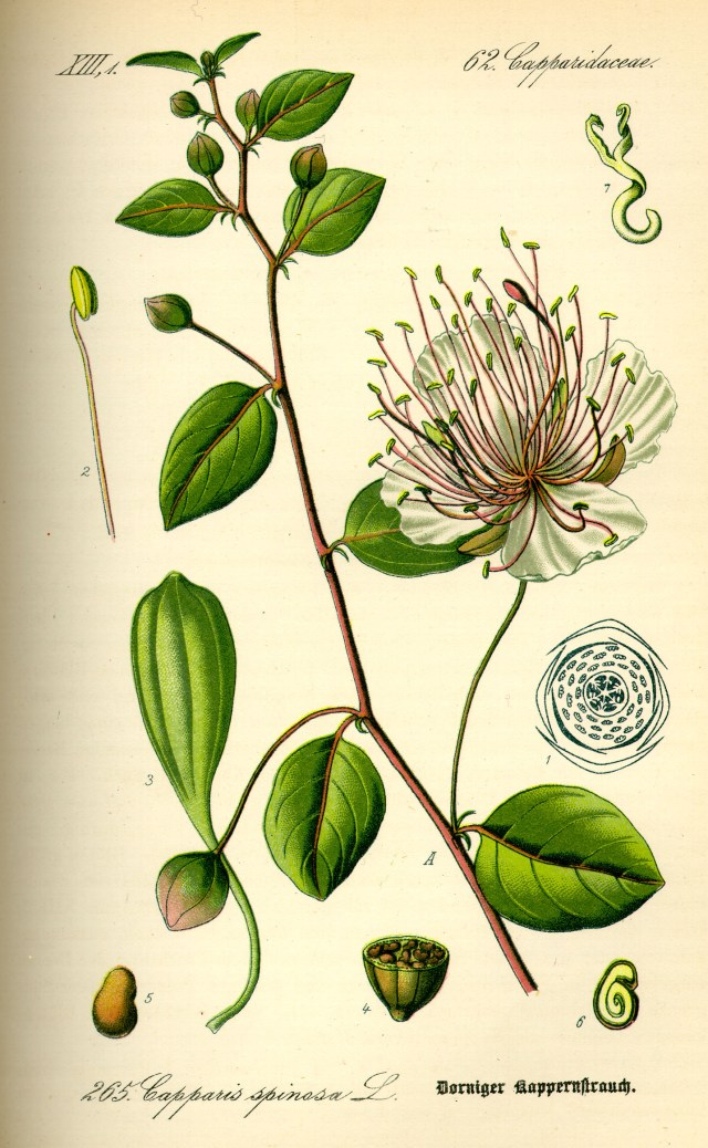Vintage floral illustration - Capparis spinosa, the caper bush, also called Flinders rose