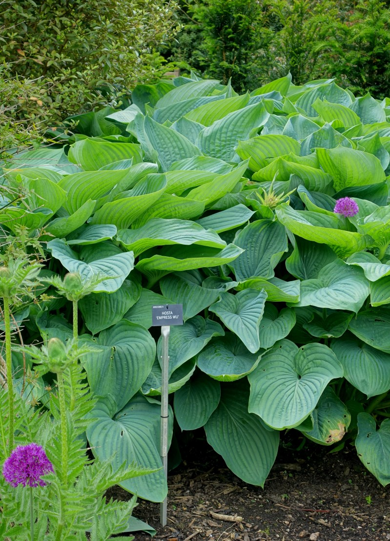 Large Of Empress Wu Hosta