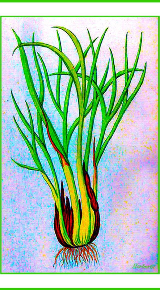 http://i1.wp.com/upload.wikimedia.org/wikipedia/commons/9/91/Allium_ascalonicum_Ypey29.jpg?resize=638%2C1155