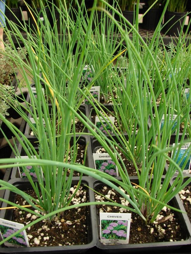 http://i1.wp.com/upload.wikimedia.org/wikipedia/commons/9/98/Starr_080117-1588_Allium_schoenoprasum.jpg?resize=640%2C853