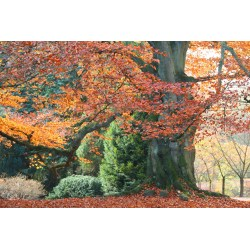 Small Crop Of Copper Beech Tree