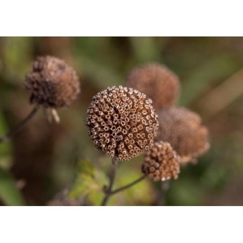 Medium Crop Of Bee Balm Seeds
