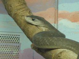 Black mamba (1)