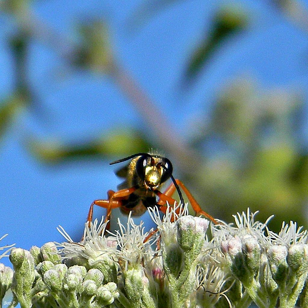 Interesting Gen Digger Wasp 28sphex Ichneumoneus29 28779423975229 Gen Digger Wasp Massachusetts Gen Digger Wasp Uk houzz-03 Great Golden Digger Wasp