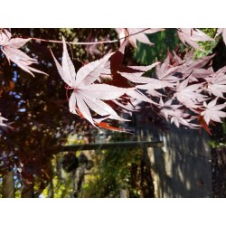 Small Crop Of Emperor Japanese Maple