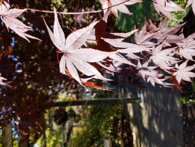 Medium Of Emperor Japanese Maple