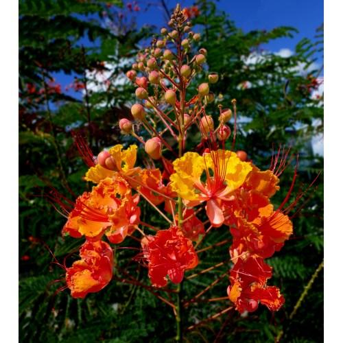 Medium Crop Of Pride Of Barbados