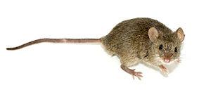 Русский: Мышь домовая Mus musculus